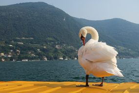 Swan, Free Float, Lake Iseo, Lake