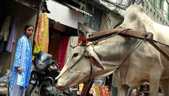 Cow New Delhi India Work The Burden Of Fat