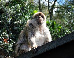 Barbary Ape, Monkey Rock, Gibraltar