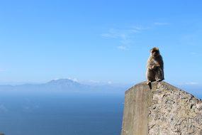 Ape, Gibraltar, Gb, Monkey, Animal