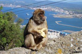 Ape, Banana, Gibraltar, Animal, Monkey