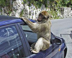 Gibraltar, Baboon, Monkey, Animal, Car