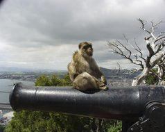 Gibraltar Monkey Cannon Animal Europe Mamm