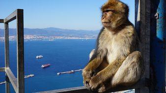 Monkey Gibraltar Rock Focus England Gibral
