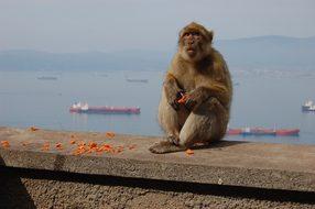 Monkey, Toque, Gibraltar, Mountain