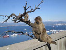 Gibraltar Monkeys Mediterranean Sea Gibral