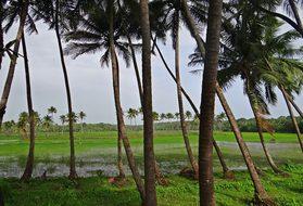 Coconut Groves Pasture Field Goa India Goa