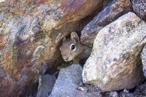 Chipmunk, Squirrel, Mammal, Rodent