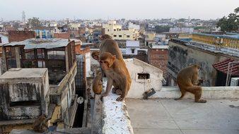 Monkey Varanasi On The Roof India Animals